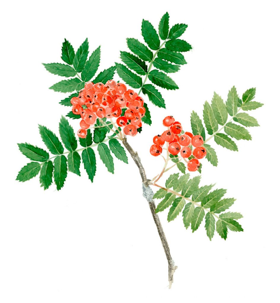 Watercolour illustration of rowanberry.